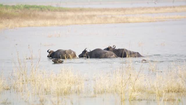 ms water buffalo wading in river,sri lanka - sri lanka stock videos & royalty-free footage