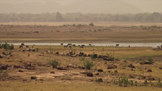water buffaloes along yamuna river, india - arid stock videos & royalty-free footage