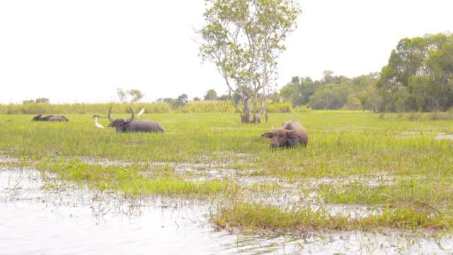 water buffaloes at talay noi - water buffalo stock videos & royalty-free footage