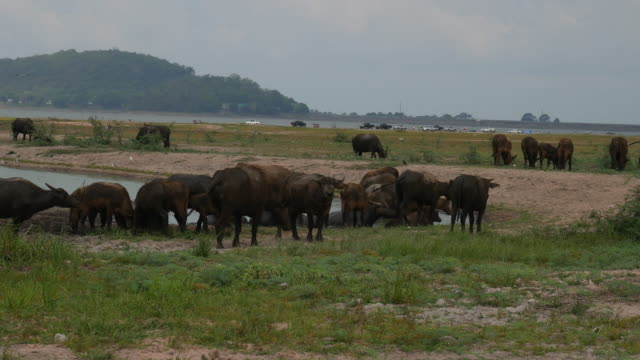 water buffaloes grazing in a field - tranquillising stock videos & royalty-free footage