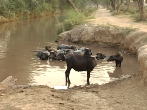 water buffalos sleeping in muddy river - cattle stock videos & royalty-free footage