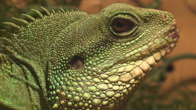stockvideo's en b-roll-footage met water dragon - reptile