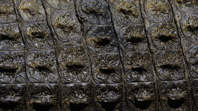 water dries on the scales of a nile crocodile. available in hd. - tierhaut stock-videos und b-roll-filmmaterial