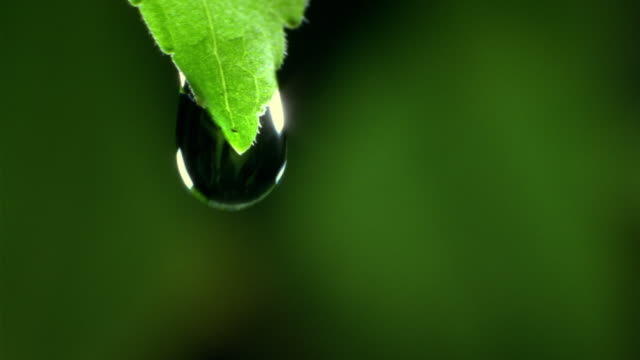 ECU, SELECTIVE FOCUS, Water dripping from leaf