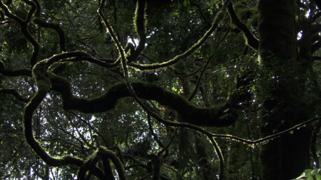 Water drips from moss covered vines, Mount Rungwe, Tanzania