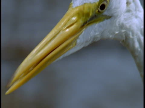 water drips from the wet head of a great white egret in the everglades. - maul stock-videos und b-roll-filmmaterial