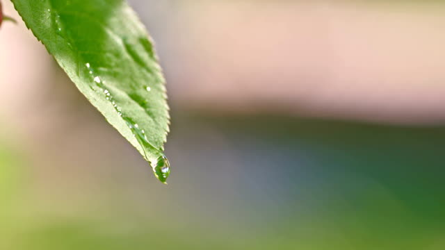 slo mo 水ドロップなどの葉の - 結露点の映像素材/bロール