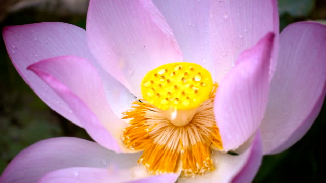 water drop falling down on the lotus flower