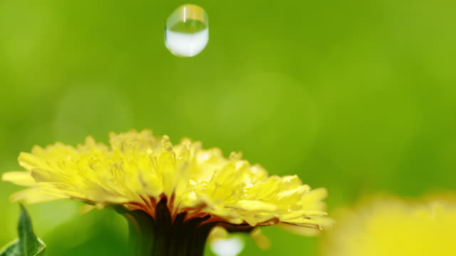 slo mo cu water drop falling on a dandelion - swaying stock videos & royalty-free footage