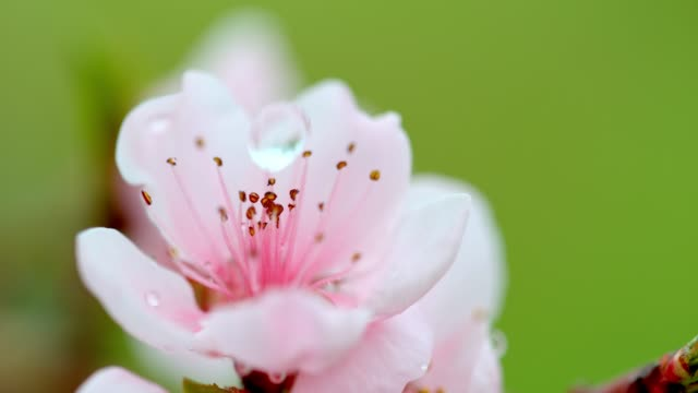SLO MO Water drop falling on a peach blossom