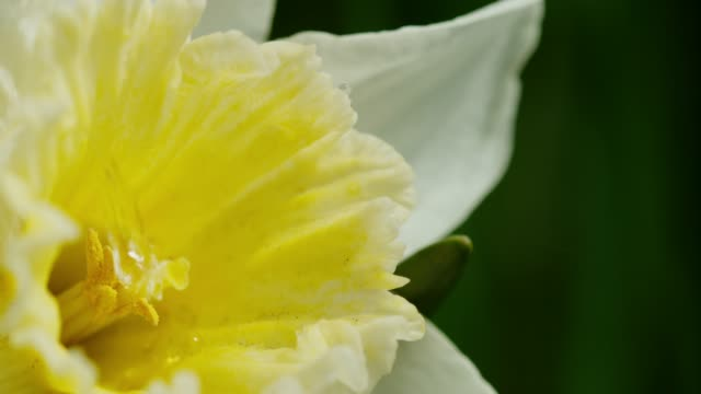 slo mo water drop falling on a stamen of a daffodil - daffodil stock videos & royalty-free footage