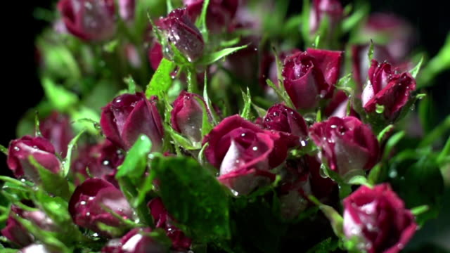 water drop falling on red rose - bud stock videos and b-roll footage