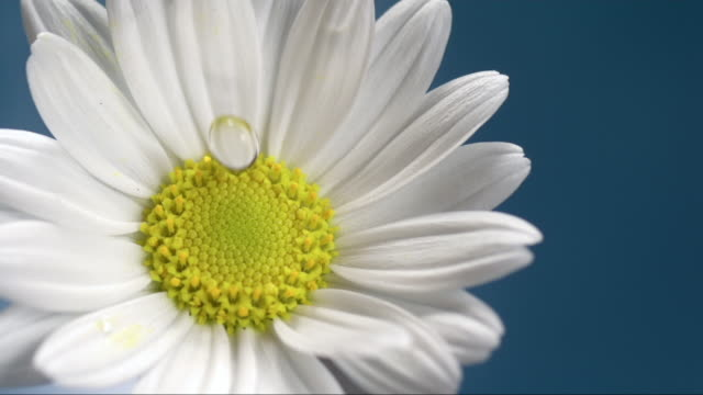 water drop is falling on a marguerite - daisy stock videos & royalty-free footage