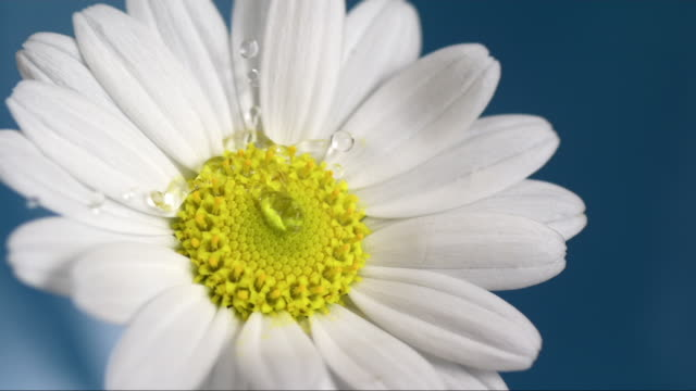 vidéos et rushes de water drop is falling on a marguerite - marguerite