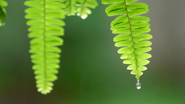 slo mo cu water drop off from fern tip - fern stock videos & royalty-free footage