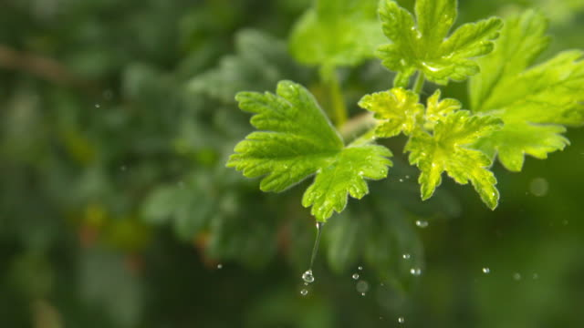 water drop on a berry leaf - 40 seconds or greater stock videos & royalty-free footage