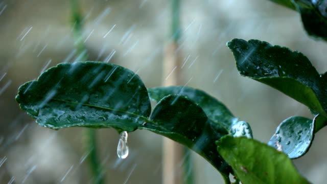 カフェライム リーフ ライムの葉、スローモーションの水低下 - ベルガモット点の映像素材/bロール