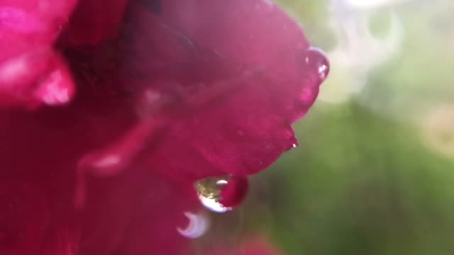 water drop on red rose , rose hip - blossom stock videos & royalty-free footage