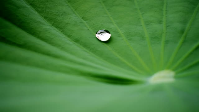 water drop on the lotus leaf - shinobazu pond stock videos and b-roll footage