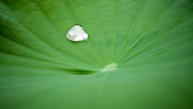 water drop on the lotus leaf - tracery stock videos and b-roll footage