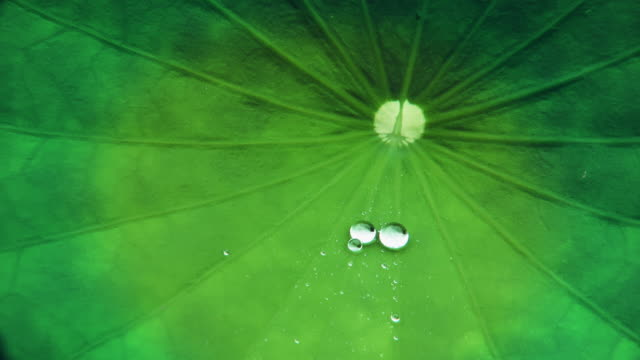 water drop rolling on a lotus leaf - aquatic plant stock videos & royalty-free footage