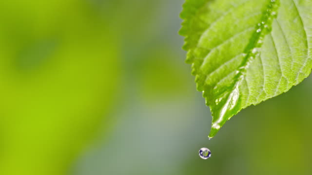slo mo ld water droplet falling from a leaf - slovenia stock videos & royalty-free footage