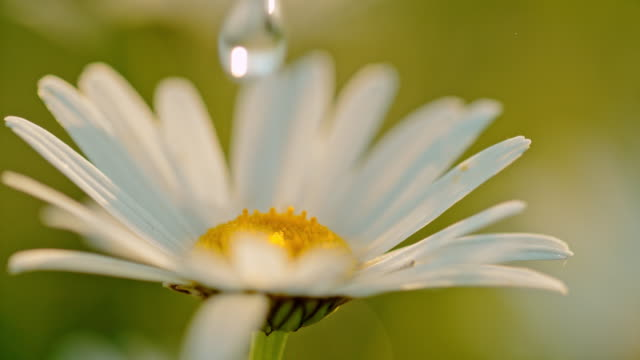 cu water droplet falling on white daisy flower - image focus technique stock videos & royalty-free footage