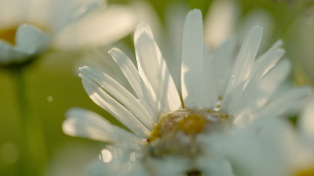 cu water droplet falling on white daisy flower - petal stock videos & royalty-free footage