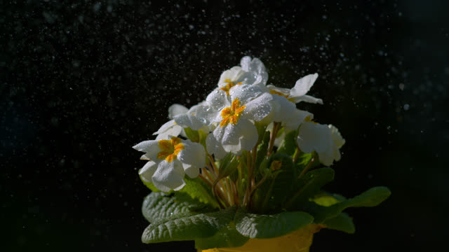 slo mo water droplet mist sprayed at flowers - spraying stock videos & royalty-free footage