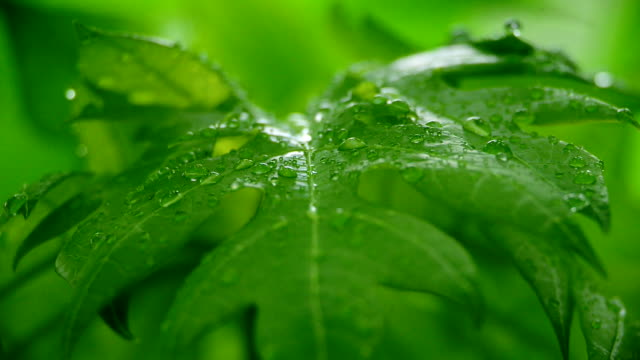 water droplets at leaf - papaya stock videos & royalty-free footage
