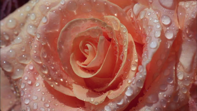 water droplets cling to the petals of colorful roses. - wet stock videos & royalty-free footage