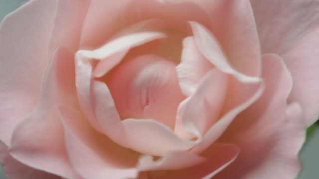 vidéos et rushes de water droplets fall on roses - pink color