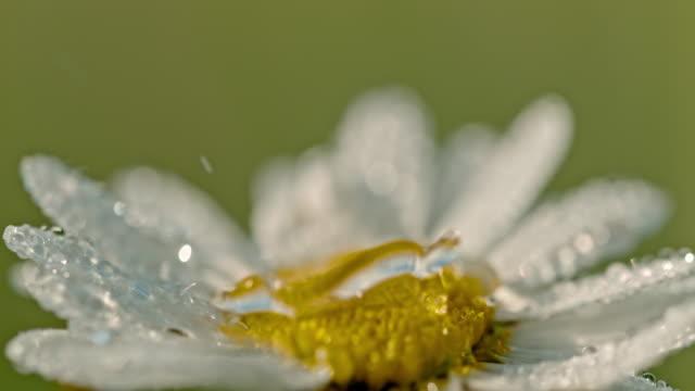 vídeos y material grabado en eventos de stock de cu gotitas cayendo sobre flor de la margarita blanca y amarilla - rocío