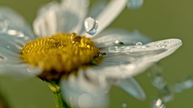 白と黄色のデイジーの花の上に落ち cu 水滴 - 濡れている点の映像素材/bロール