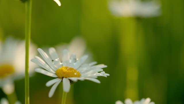 stockvideo's en b-roll-footage met cu waterdruppels die vallen op witte en gele daisy bloem - minder dan 10 seconden