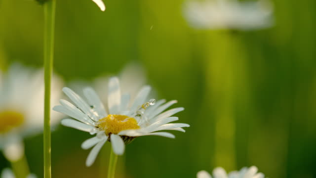 cu water droplets falling on white and yellow daisy flower - petal stock videos & royalty-free footage