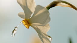 CU Water droplets falling on white narcissus flower