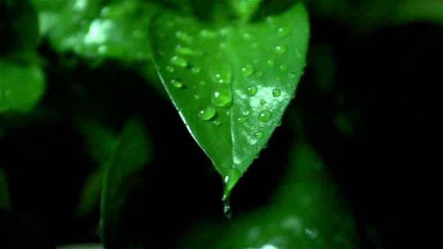 Water droplets falling onto leaves