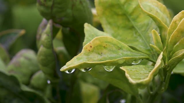 water droplets on an orange tree leaf - collection stock videos & royalty-free footage