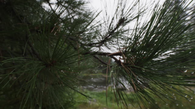 water droplets on pine tree, close up - pine tree stock videos & royalty-free footage