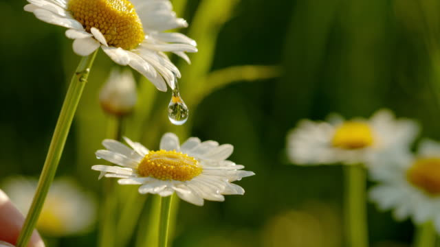 cu water droplets on white and yellow daisy flowers - beauty in nature stock videos & royalty-free footage