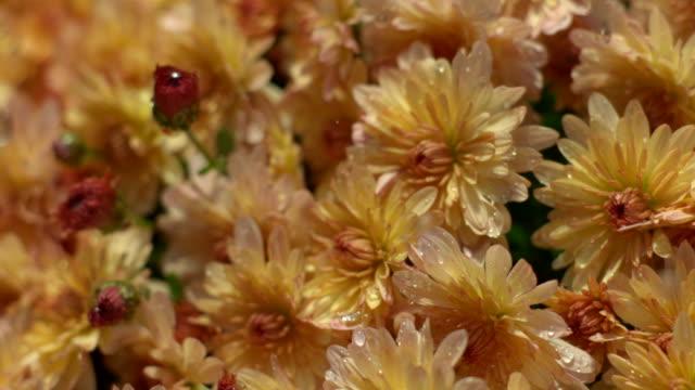 cu pan slo mo water droplets raining on orange chrysanthemums / morristown, new jersey, usa - orange new jersey stock videos & royalty-free footage