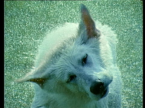 water droplets splash as white german shepherd dog shakes water from coat - wet stock videos & royalty-free footage