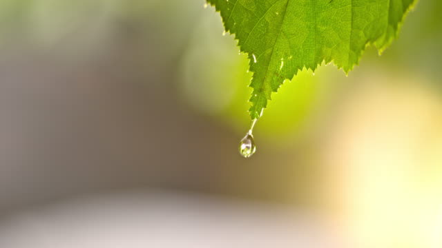 SLO MO LD Water drops dripping off a leaf