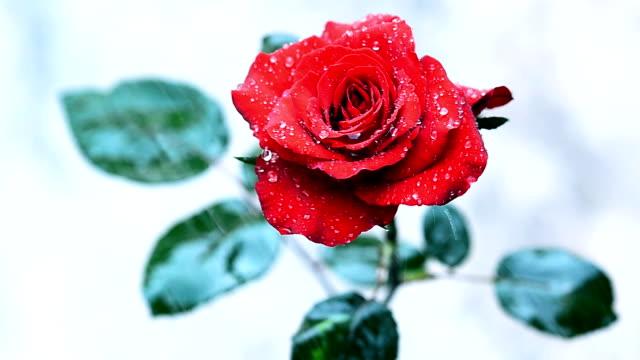 Wassertropfen fallen auf rote rose