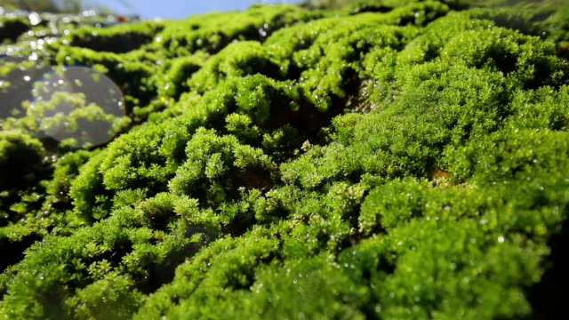 water drops falling from wet moss in mountain - muschio video stock e b–roll