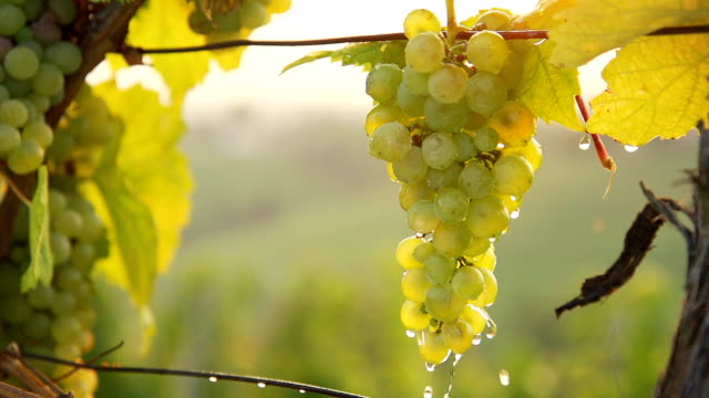 HD SUPER SLOW-MO: Water Drops Falling Off Grapes