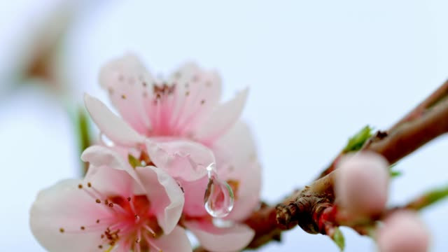 SLO MO Water drops falling on peach blossoms
