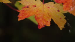 SLOW MOTION CLOSE UP Water drops falling on vibrant red autumn leaves after rain