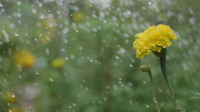water drops falling onto yellow flower. - crop stock videos and b-roll footage